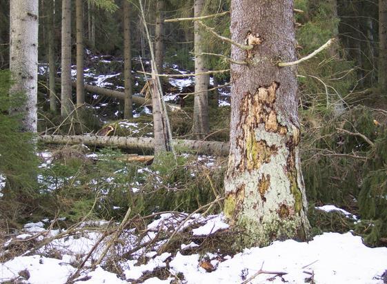 Granbarkborreskadad skog. Foto: Michael Ekstrand