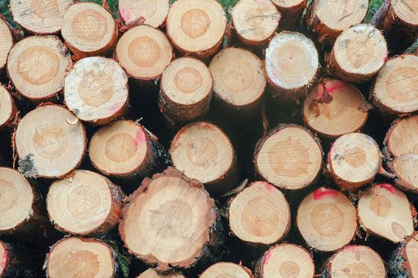 Bild på granbarkborreangrepp.