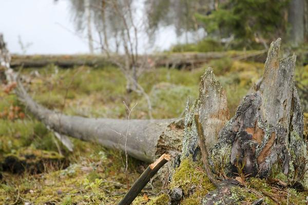 Tallåga. Foto: Anna Petersson